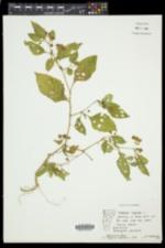 Solanum nigrum subsp. nigrum image