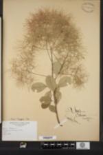 Image of Cotinus coggygria