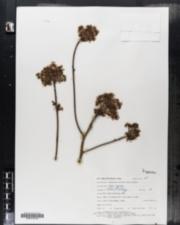 Sassafras albidum image