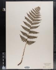 Dryopteris intermedia var. fructuosa image