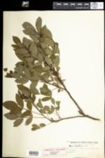 Image of Rhus copallinum
