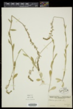 Lobelia spicata var. spicata image