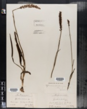 Image of Gymnadenia odoratissima