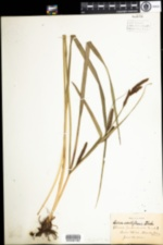 Image of Carex acutiformis