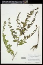 Mentha × gracilis image