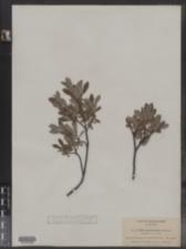 Image of Salix brachycarpa