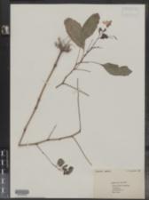 Impatiens capensis image