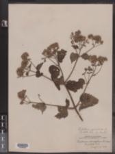 Ageratina altissima var. altissima image