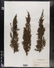 Image of Cupressus macrocarpa
