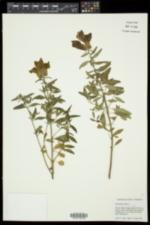 Antirrhinum majus image