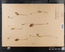 Image of Microstylis ophioglossoides
