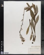 Image of Lactuca elongata
