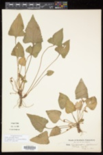 Image of Viola conjugens