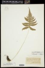 Phegopteris connectilis image