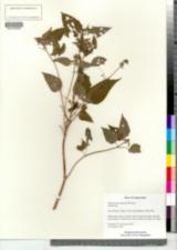 Image of Eupatorium rugosum
