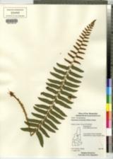 Image of Polystichum acrosticoides