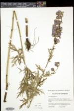 Aconitum napellus image