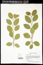 Frangula alnus image