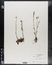 Rumex acetosella image