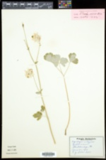 Aquilegia vulgaris image