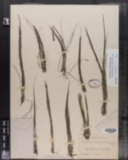 Image of Isoetes saccharata