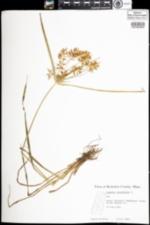 Image of Cyperus esculentus