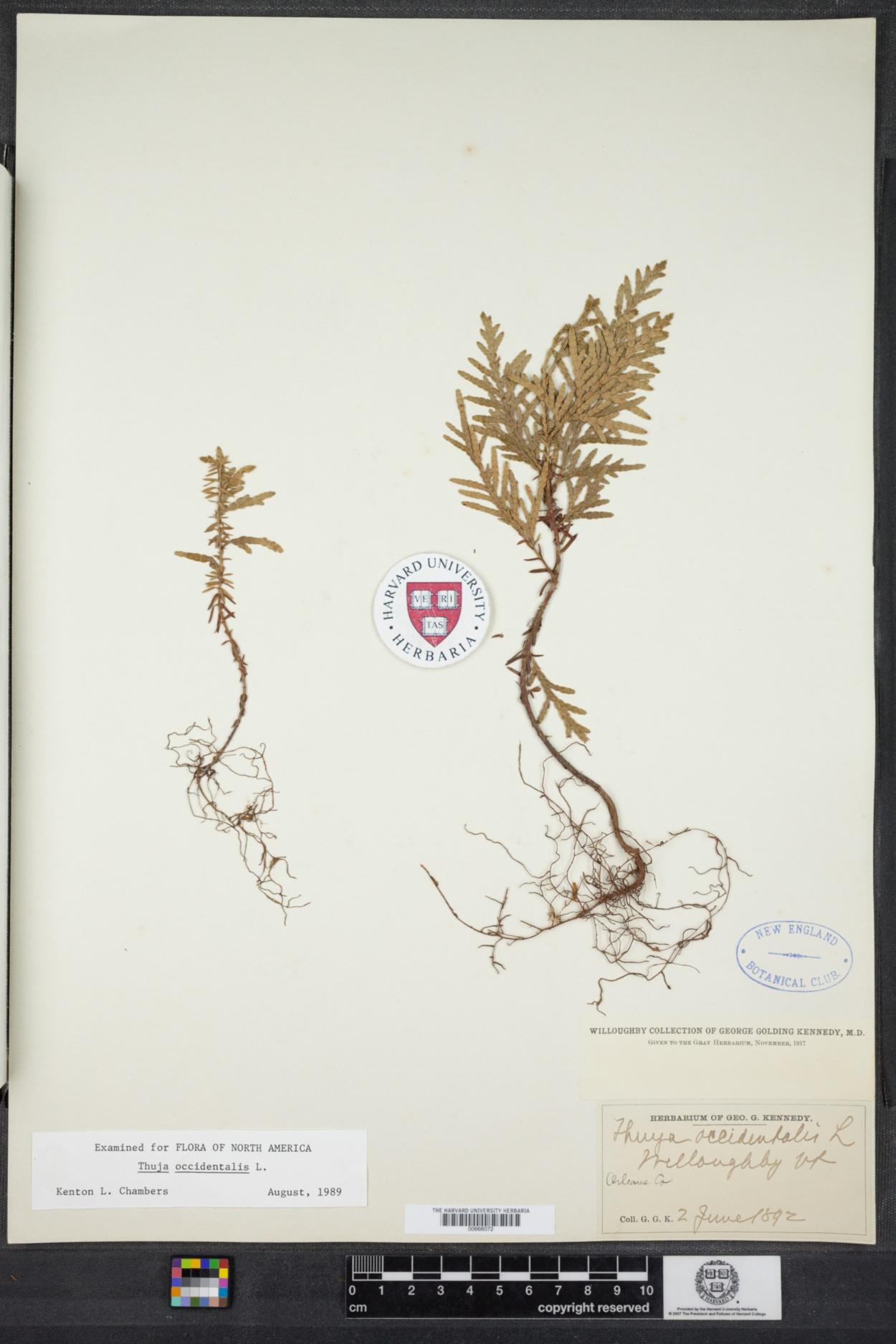 Cupressaceae image