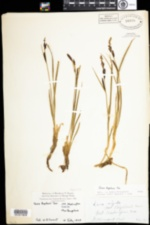 Image of Carex bigelowii