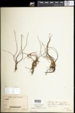 Image of Isoetes riparia