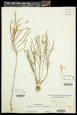Salicornia maritima image