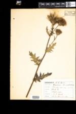 Image of Cirsium vulgare