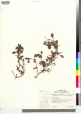 Ludwigia palustris var. americana image