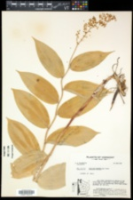 Maianthemum racemosum subsp. racemosum image