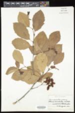 Image of Alnus fallacina