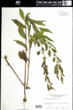 Image of Eupatorium serotinum