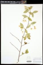 Amelanchier bartramiana image