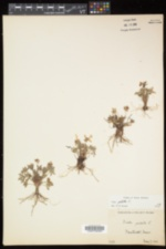 Viola pedata image