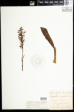 Image of Platanthera lacera