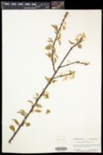 Prunus pensylvanica var. pensylvanica image