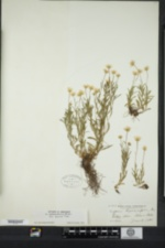 Erigeron hyssopifolius image