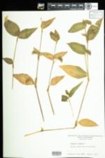 Image of Commelina communis