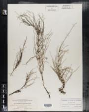 Equisetum x litorale image