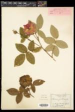 Rosa gallica image