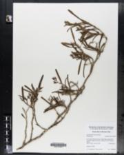 Image of Epidendrum ramosum