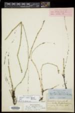 Equisetum trachyodon image