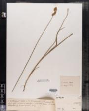 Carex adusta image