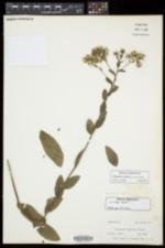 Oligoneuron rigidum var. rigidum image