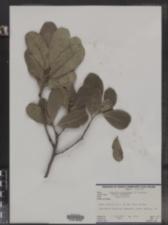 Image of Canella winterana