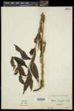 Stachys hispida image