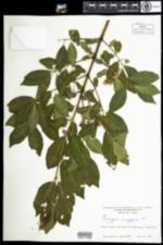 Image of Euonymus europaeus